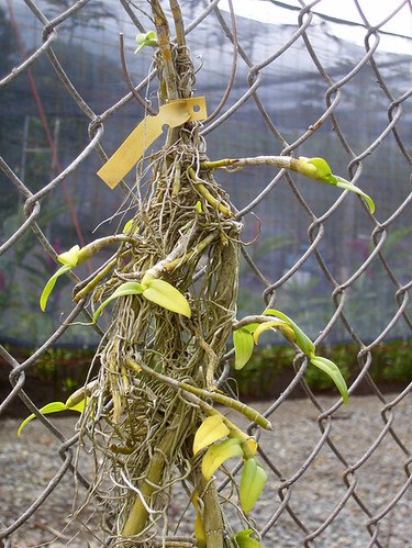 Orchid on fence