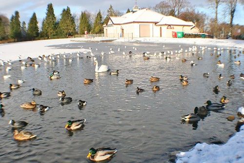 Waterfowl on Frozen Pond, Rouken Glen