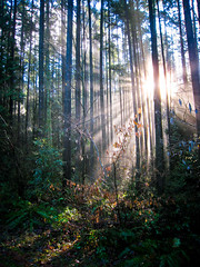 Watershed Sunbeams (rbrtwhite) Tags: life park winter light sun green leaves forest dead woods rainforest ray pacific northwest delta growth watershed trunks shrubs sunbeam moisture damp humid northdelta sunshinehills