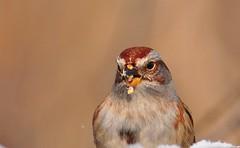 Sparrow: Nothing to see here, move along (mbaglole) Tags: cambridge ontario bird nikon flash birding sb600 300mm sparrow tele nikkor f4 teleconverter afs converter 14x nikonsb600 tc14 nikonspeedlight nikon300mmf4 tc14x nikon14teleconverter riversidecreekcambridge