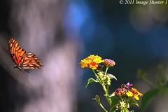 Gulf Fritillary/Lantana - Bayou Courtableau, Lousiana (Image Hunter 1) Tags: pink red orange flower green nature yellow butterfly flying wings louisiana purple bokeh flight bayou swamp marsh lantana gulffritillary t2i 55250is bayoucourtableau canont2i