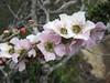 Tea Tree IMG_2561 (MargaretDonald) Tags: teatree myrtaceae leptospermum barranjoey leptospermumsquarrosum