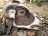 Potong kambing (Mangiwau) Tags: festival indonesia soup java blood head eid goat goats jakarta gore cutting lamb lambs throat kambing bogor slaughterhouse sacrifice slaughtering adha sacrificial potong idul dipotong