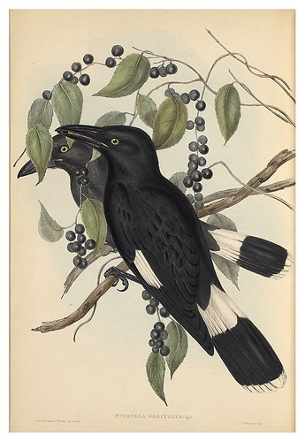 016-Strepera Draculina-The Birds of Australia  1848-John Gould- National Library of Australia Digital Collections