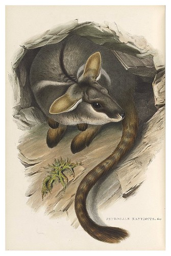 011-rock wallaby de patas amarillas-The mammals of Australia 1863-John Gould- National Library of Australia Digital Collections
