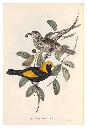 025- Pajaro regente-The Birds of Australia  1848-John Gould- National Library of Australia Digital Collections