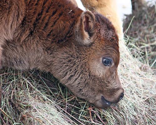 Clover tasting Hay