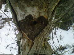 Getting out among the trees is good for your heart -- heart knot in tree