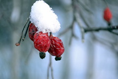 Snow on berry snjr snjr snjr (Ester Sveinbjarnardottir) Tags: world winter red people snow abstract color nature beauty horizontal closeup outdoors photography iceland cool bush berry day pattern natural image no sunny reykjavik environment the in fragility estersv