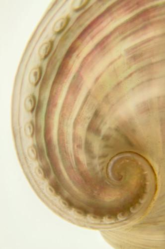Shell Spiral 2