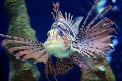 Peixe-leo ( Pterois volitans ) (tinica50) Tags: usa orlando fl 1001nights lionfish peixeleo greatshotss