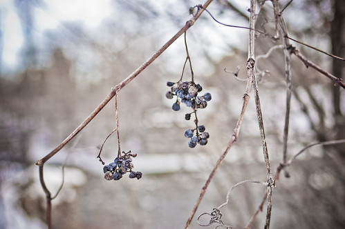 28:365 Winter berries