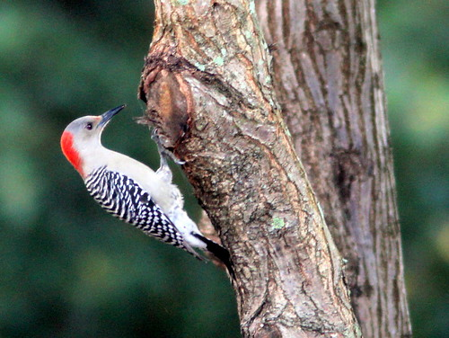 Red-bellied Woodpecker 20110121