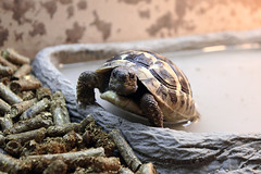 tortoise getting out the bath by Michael Cordedda, on Flickr
