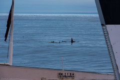 Killer whales at the edge (Elvar H) Tags: arcticocean helmerhansen orcinusorca siarctic háhyrningur killerwhales spekkhogger åkratrål