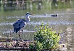 9Q6A6789 (2) (Alinbidford) Tags: alinbidford alancurtis brandonmarsh kingfisher greyheron heron kestrel