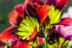 Patflowered.jpg (raysul) Tags: flower macro flowerphotography floralart closeup depthoffield decorative beautyinmacro