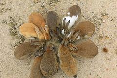 image (Rubia.A) Tags: rabbit animal rabbitisland okunoisland japan hiroshima うさぎ 兎 広島 大久野島