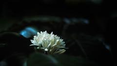 Fleur de caf (Pimenthe) Tags: flower nature white natural low key lowkey coffee leaf leaves green dark black bw travel away asia java bali east eastern beautiful 169 background close up closeup macro bokeh night