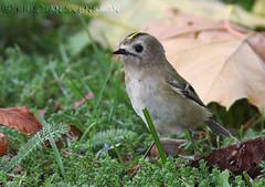 Goldcrest (Regulus regulus) (macronyx) Tags: bird nature birds wildlife birding aves regulus oiseaux goldcrest fåglar regulusregulus kungsfågel