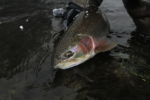 Nice fat Wallowa River rainbow