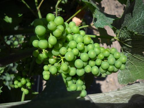 [Mendoza] Uvas em plena maturação