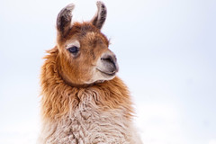 Llama day dreaming (Kartik J) Tags: portrait usa snow animal america fur colorado llama coloradosprings sonycamera cuteanimal a500 sonydigitalslr sonyalphadslr sonya500 sonydslra500 sonyalphadslra500 kartikjayaraman