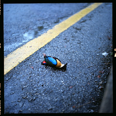 (19/77) Tags: bird tlr film dead malaysia 1977 negativescan yashicamatlm mediumfromat kodakektacolorpro160 autaut canoscan8800f myasin yashino80mmf35