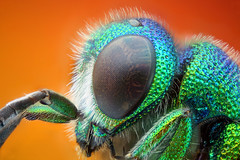 First stack with the Nikon M Plan 10x (Nikola Rahme) Tags: wasp supermacro bellows hymenoptera jewelwasp photomicrography focusstack canoneos5d photomacrography insectmacro chrysididae canonspeedlite580exii zerenestacker microscopeobjective nikonmplan100252100