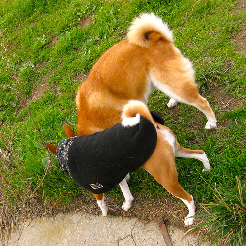 Dog breeds with curly tails dog breeds picture