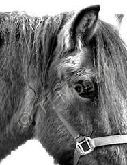 HORSE LORENZO