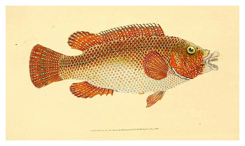013-The natural history of British fishes 1802-Edward Donovan