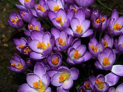 Crocus Textured (saxonfenken) Tags: orange flower yellow garden spring purple crocus textured bigmomma gamewinner 6966 friendlychallenge thechallengefactory pregamewinner thechallengefactoryunam 6966flower
