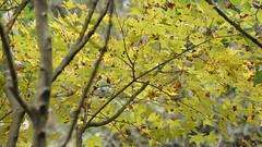 Gold Maple Leaf (ddsnet) Tags: new autumn plant leaves sony taiwan autumnleaves experience   taoyuan autumnal   nex    leaves mirrorless autumn autumn leaves emount nex5 newemountexperience 851 85