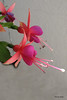 Fuchsia 'Gina' (pennyeast) Tags: flower garden botanical fuchsia capetown onagraceae pae papaalphaecho