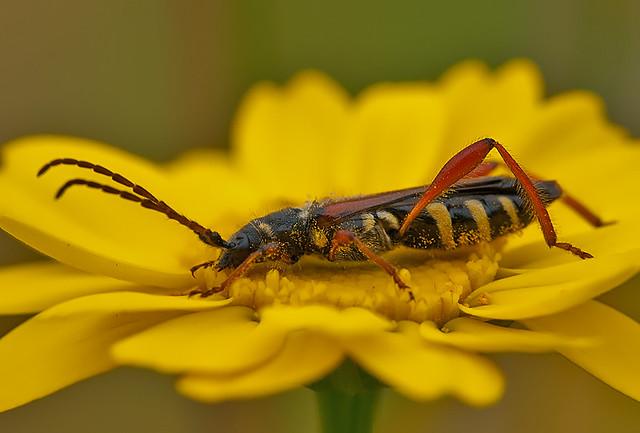 Stenopterus mauritanicus