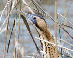 Bittern Portrait (Andrew Haynes Wildlife Images ( away for a while )) Tags: bird heron nature coventry warwickshire bittern brandonmarsh canon7d ajh2008 carltonhide