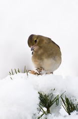 Chaffinch (Fringilla coelebs), Female with Bumble Foot  in the Snow (Steve Greaves) Tags: roof winter white snow black cold tree bird nature pine female japanese duck couple december branch dof action bokeh snowy wildlife pair shed freezing aves naturalhistory bonsai snowing hen virus disease avian fringillacoelebs deformed illness chaffinch wintery diseased ducking deformity commonchaffinch bumblefoot pinusthunbergii papilloma longclaw eurasianchaffinch nikond300 globalbirdtrekkers nikonafsii400mmf28ifedlens furfoot