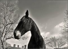 ~~Gina dans les nuages...~~ (Jolisa) Tags: trees sky blackandwhite horse clouds caballo cheval nikon arboles noiretblanc ciel arbres cielo nubes nuages pferd contreplonge plantecheval