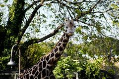 (Simona Fuso) Tags: travel photo nikon simona fuso viaggio giraffa