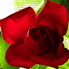 Champs-Elyses - Macro (Jack o' Lantern) Tags: red flower macro art nature fleur rose closeup canon garden photography petals flora perfect blossom bokeh rosa bloom fiore my excellence kwiat the floribunda themoulinrouge doublefantasy ra arosebyanyothername photos first great rose blossoms flowerotica natures shots fantasy tea petals fantasticflower masterphotos photographers anawesomeshot friends photographer master diamondclassphotographer finest winners theunforgettablepictures delightfulroses bestroseshot awesome thegardenofzen quality floral excelentsflowers spiritofphotography hybrid perfect jackolantern unforgettableflowerscontest14 exquisitelygorgeousflowers bej