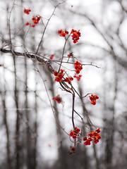 berries 2 (marianna armata) Tags: trees winter red snow canada macro nature forest interesting bush berries open montral quebec bokeh panasonic explore marianna armata explored lumixg1 mothernaturesgreenearth mariannaarmata tgamphotodeskwinter