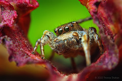 Adult Male Habronattus cognatus Jumping spider (Thomas Shahan) Tags: portrait oklahoma face k vintage lens 50mm prime spider diy jumping eyes close pentax thomas arachnid flash tubes homemade extension reversed dslr smc vivitar softbox diffuser arachnology arthropod macrophotography bayonet salticid shahan f17 salticidae thyristor habronattus k200d cognatus justpentax macvro