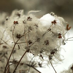Light as snow (sandrine L.) Tags: winter light white snow flower macro fleur square december close bokeh hiver neige blanc leger decembre carre bsquare legerete carrefrancais