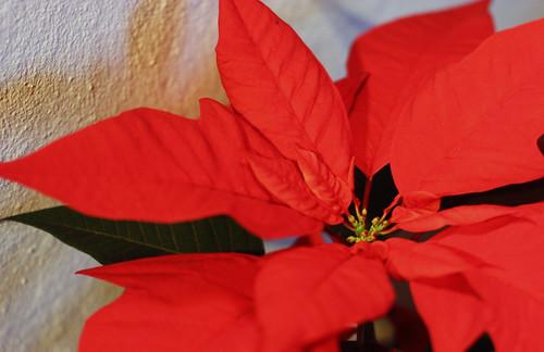 354/365 christmas flowers