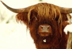 Hammish the mooovie star (Gazasal) Tags: winter hairy snow animal scotland cow cattle scottish highland horn hamish gazasal