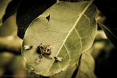 A comer al enemigo!! (Let´s eat the enemy!!) (vicaltam) Tags: trees macro southamerica canon insect death ecuador essen arboles powershot muerte eat mosquito flies comer mosca sudamerica moscas insecto pichincha guayllabamba sx20is