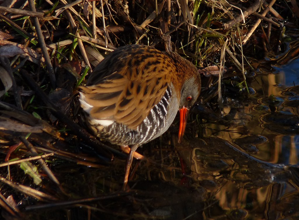 23789 - Water Rail, Sandy Water Park, Llanelli