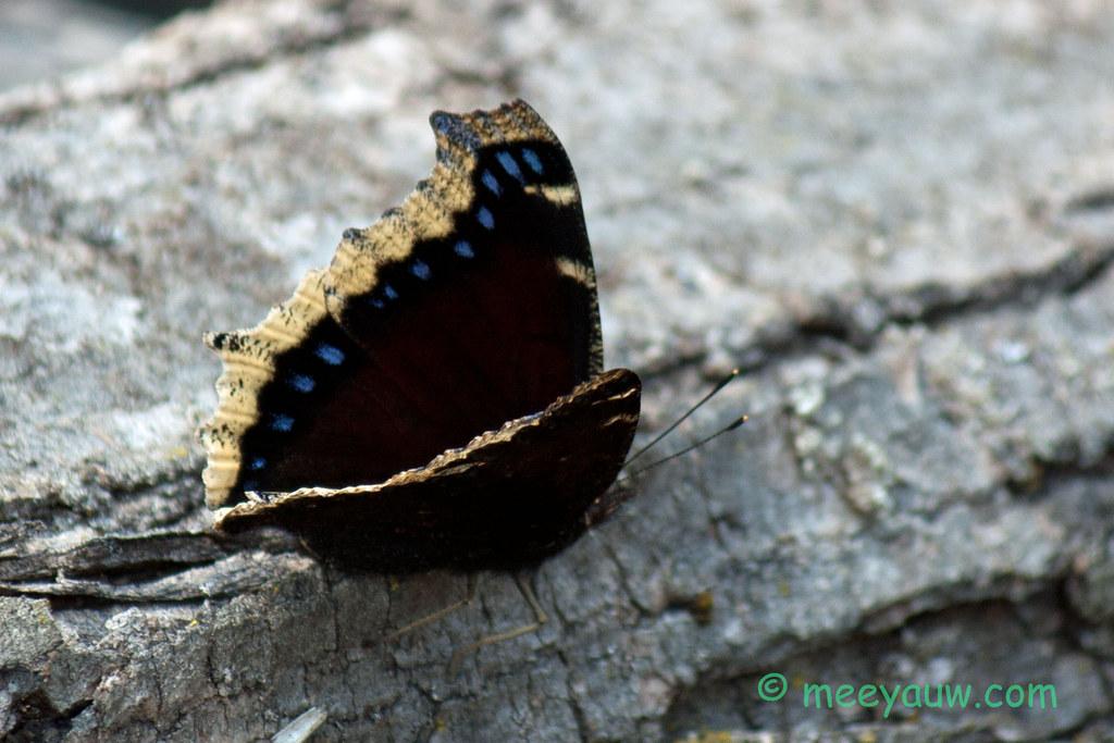 mourning cloak butterfly   02.jpg