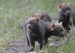 Bush dog puppies (gentle lemur) Tags: chesterzoo bushdog speothosvenaticus